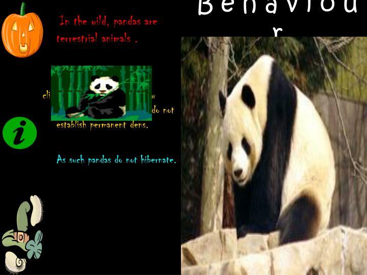 In the wild, pandas are terrestrial animals .