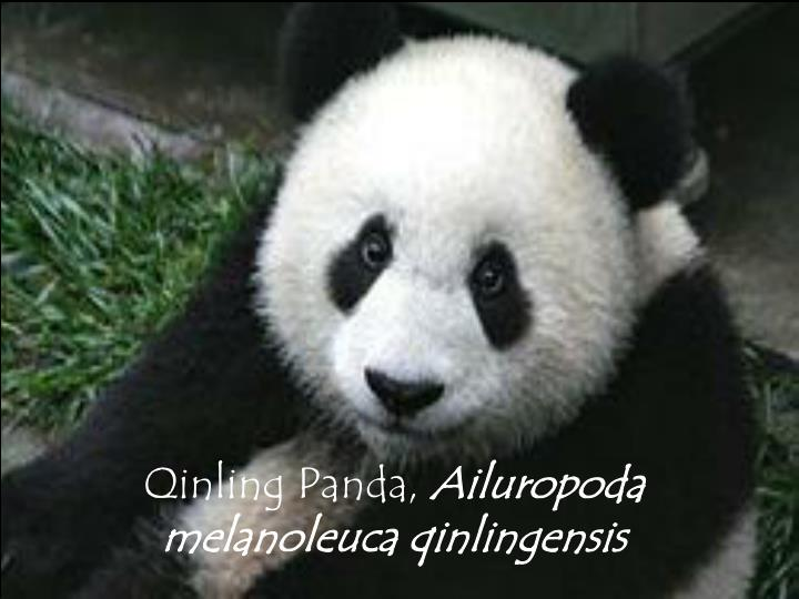 Qinling Panda,