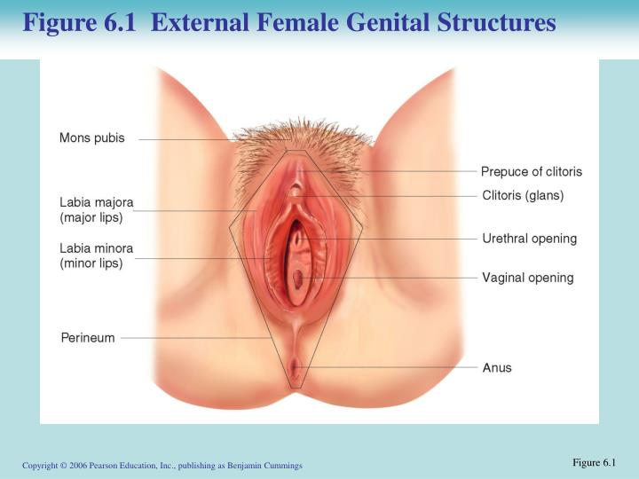 Figure 6.1  External Female Genital Structures