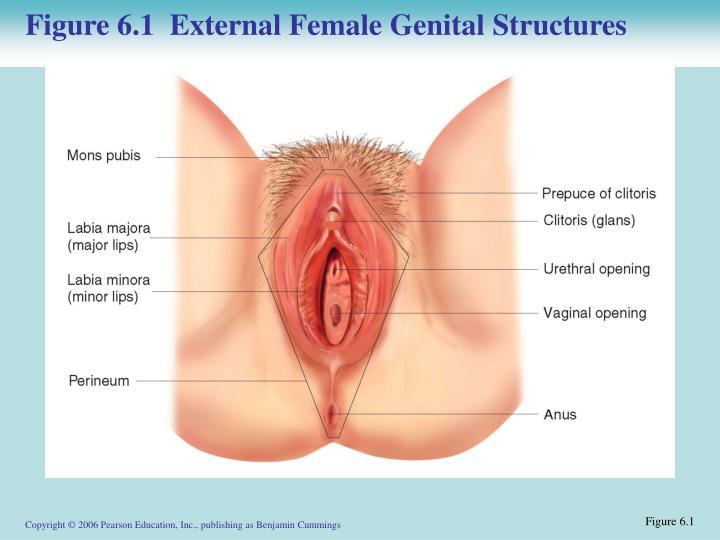 Figure 6.1  External Female Genital Structures
