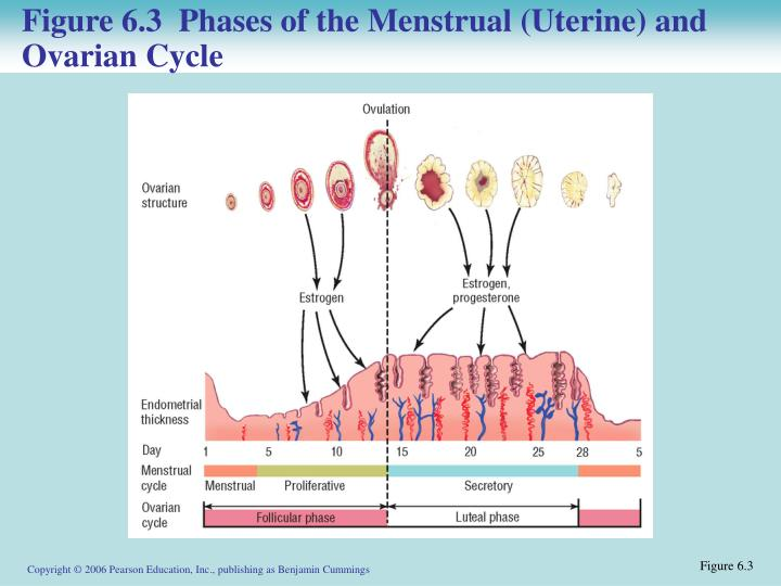 Figure 6.3  Phases of the Menstrual (Uterine) and Ovarian Cycle