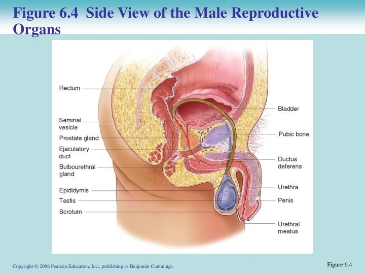 Figure 6.4  Side View of the Male Reproductive Organs