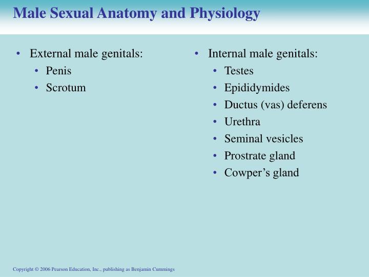 External male genitals: