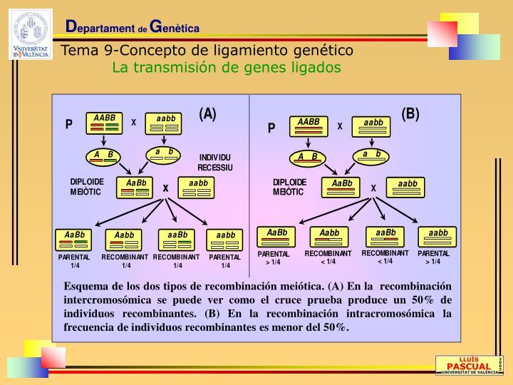 Esquema de los dos tipos de recombinación meiótica. (A) En la  recombinación intercromosómica se puede ver como el cruce prueba produce un 50% de individuos recombinantes. (B) En la recombinación intracromosómica la frecuencia de individuos recombinantes es menor del 50%.