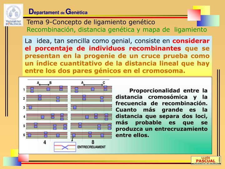 Proporcionalidad entre la distancia cromosómica y la frecuencia de recombinación. Cuanto más grande es la distancia que separa dos loci, más probable es que se produzca un entrecruzamiento entre ellos