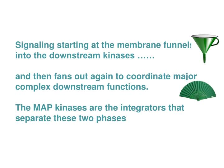Signaling starting at the membrane funnels into the downstream kinases ……