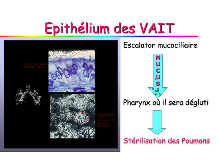 Epithélium des VAIT
