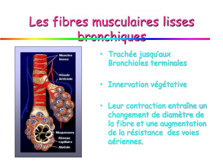 Les fibres musculaires lisses bronchiques