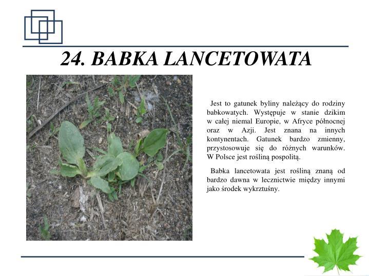 24. BABKA LANCETOWATA