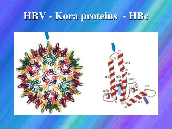 HBV - Kora proteins  - HBc