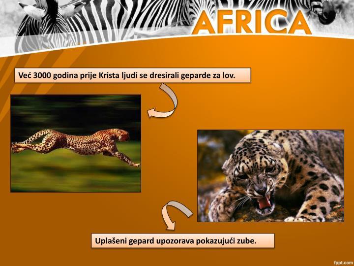 Već 3000 godina prije Krista ljudi se dresirali geparde za lov.