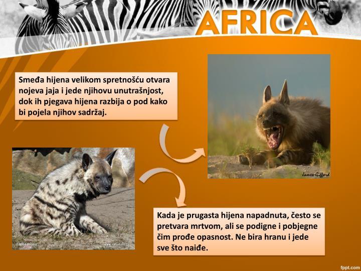 Smeđa hijena velikom spretnošću otvara nojeva jaja i jede njihovu unutrašnjost, dok ih pjegava hijena razbija o pod kako bi pojela njihov sadržaj.