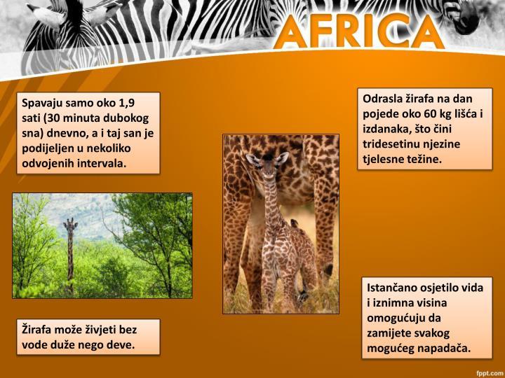Odrasla žirafa na dan pojede oko 60 kg lišća i izdanaka, što čini tridesetinu njezine tjelesne težine.