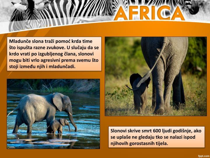 Mladunče slona traži pomoć krda time što ispušta razne zvukove. U slučaju da se krdo vrati po izgubljenog člana, slonovi mogu biti vrlo agresivni prema svemu što stoji između njih i mladunčadi.