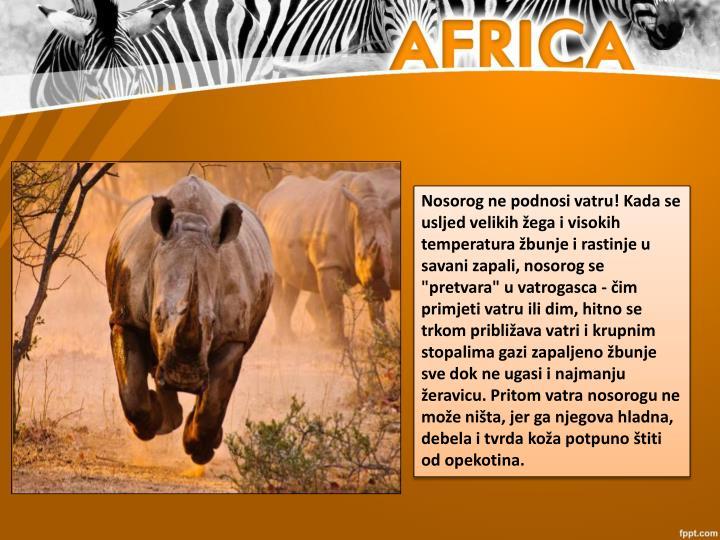 """Nosorog ne podnosi vatru! Kada se usljed velikih žega i visokih temperatura žbunje i rastinje u savani zapali, nosorog se """"pretvara"""" u vatrogasca - čim primjeti vatru ili dim, hitno se trkom približava vatri i krupnim stopalima gazi zapaljeno žbunje sve dok ne ugasi i najmanju žeravicu. Pritom vatra nosorogu ne može ništa, jer ga njegova hladna, debela i tvrda koža potpuno štiti od opekotina."""