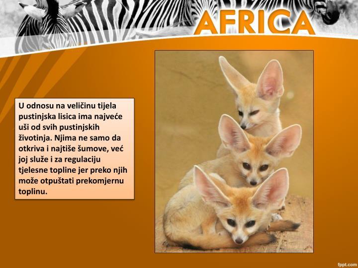 U odnosu na veličinu tijela pustinjska lisica ima najveće uši od svih pustinjskih životinja. Njima ne samo da otkriva i najtiše šumove, već joj služe i za regulaciju tjelesne topline jer preko njih može otpuštati prekomjernu toplinu.