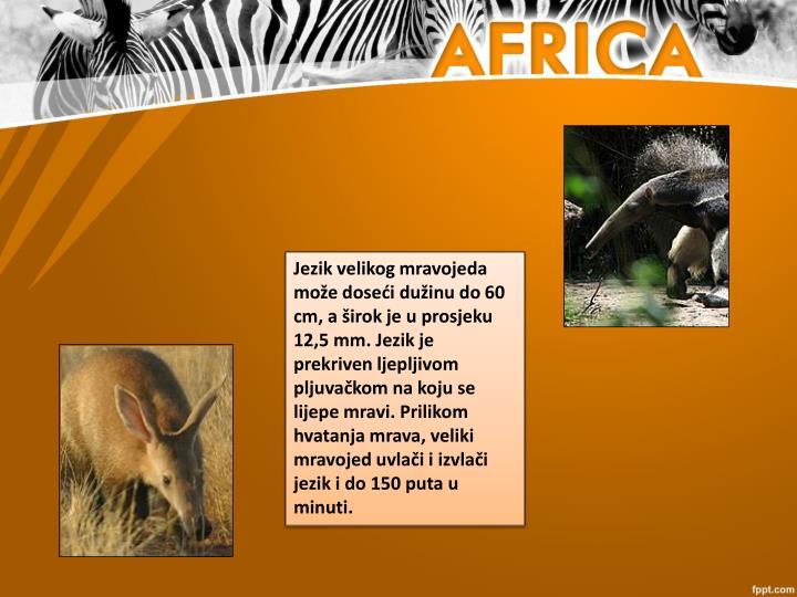 Jezikvelikog mravojeda može doseći dužinu do 60 cm, a širok je u prosjeku 12,5 mm. Jezik je prekriven ljepljivom pljuvačkomna koju se lijepe mravi. Prilikom hvatanja mrava, veliki mravojed uvlači i izvlači jezik i do 150 puta u minuti.