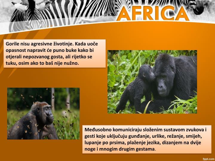 Gorile nisu agresivne životinje. Kada uoče opasnost napravit će puno buke kako bi otjerali nepozvanog gosta, ali rijetko se tuku, osim ako to baš nije nužno.