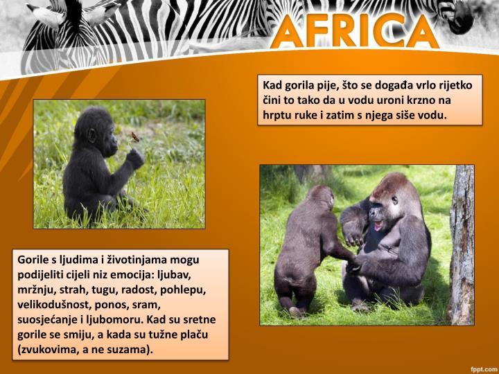 Kad gorila pije, što se događa vrlo rijetko čini to tako da u vodu uroni krzno na hrptu ruke i zatim s njega siše vodu.