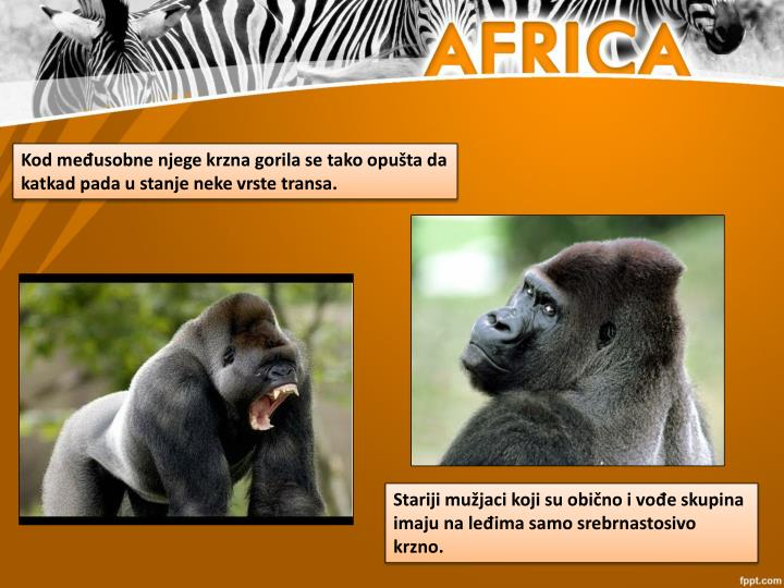 Kod međusobne njege krzna gorila se tako opušta da katkad pada u stanje neke vrste transa.