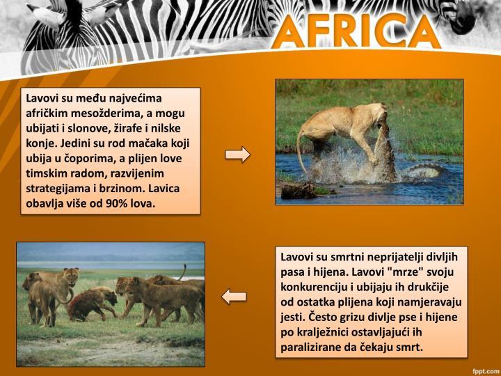 Lavovi su među najvećima afričkim mesožderima, a mogu ubijati i slonove, žirafe i nilske konje. Jedini su rod mačaka koji ubija u čoporima, a plijen love timskim radom, razvijenim strategijama i brzinom. Lavica obavlja više od 90% lova.