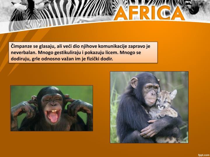 Čimpanze se glasaju, ali veći dio njihove komunikacije zapravo je neverbalan. Mnogo gestikuliraju i pokazuju licem. Mnogo se dodiruju, grle odnosno važan im je fizički dodir.