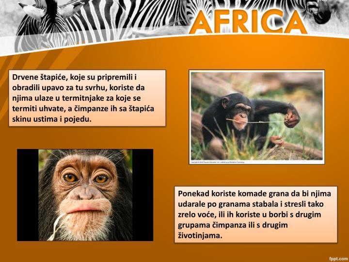 Drvene štapiće, koje su pripremili i obradili upavo za tu svrhu, koriste da njima ulaze utermitnjakeza koje se termiti uhvate, a čimpanze ih sa štapića skinu ustima i pojedu.