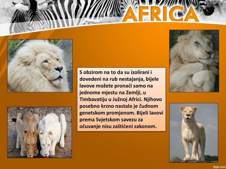 S obzirom na to da su izolirani i dovedeni na rub nestajanja, bijele lavove možete pronaći samo na jednome mjestu na Zemlji, u Timbavatiju u Južnoj Africi. Njihovo posebno krzno nastalo je čudnom genetskom promjenom. Bijeli lavovi prema Svjetskom savezu za očuvanje nisu zaštićeni zakonom.