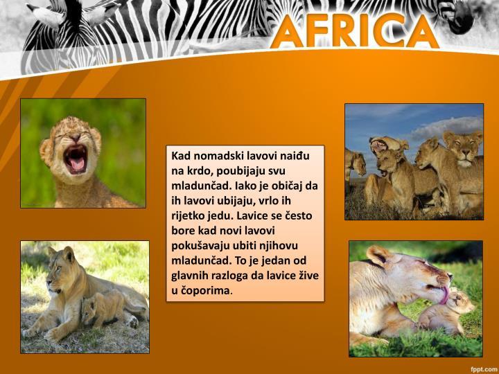 Kad nomadski lavovi naiđu na krdo, poubijaju svu mladunčad. Iako je običaj da ih lavovi ubijaju, vrlo ih rijetko jedu. Lavice se često bore kad novi lavovi pokušavaju ubiti njihovu mladunčad. To je jedan od glavnih razloga da lavice žive u čoporima