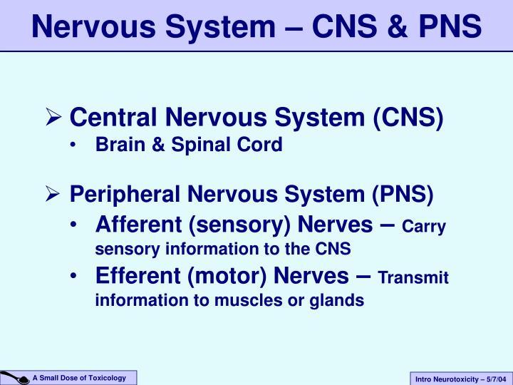 Nervous System – CNS & PNS