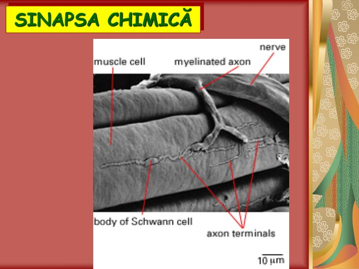 SINAPSA CHIMIC