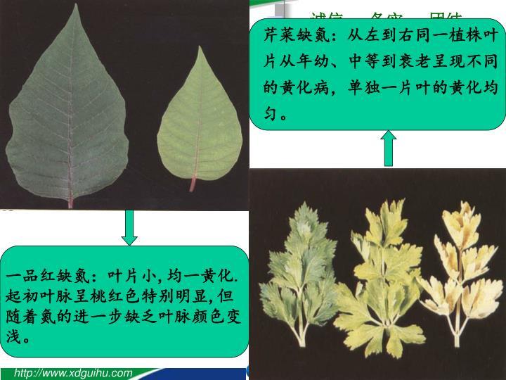芹菜缺氮:从左到右同一植株叶片从年幼、中等到衰老呈现不同的黄化病,单独一片叶的黄化均匀。