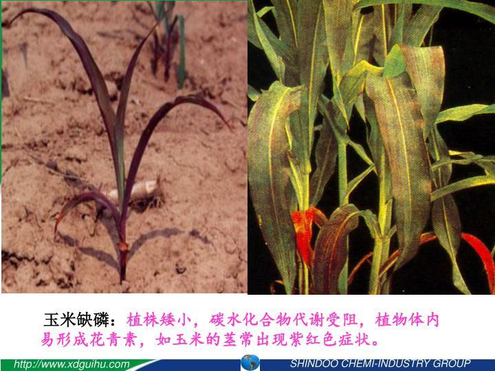 玉米缺磷: