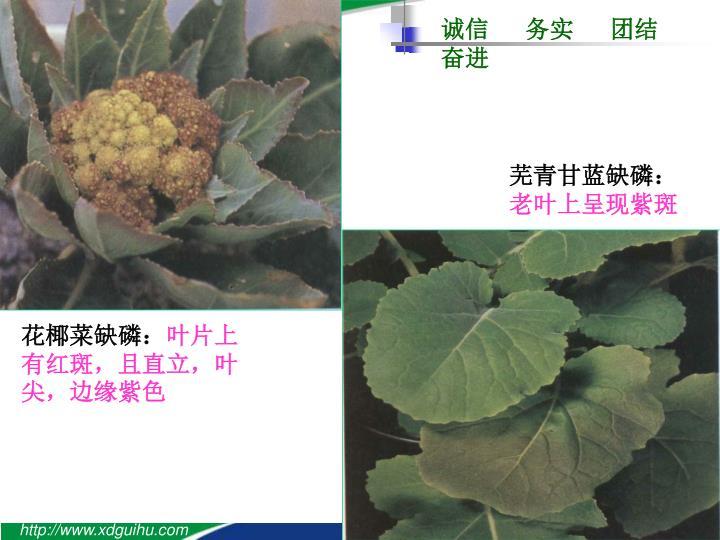 芜青甘蓝缺磷: