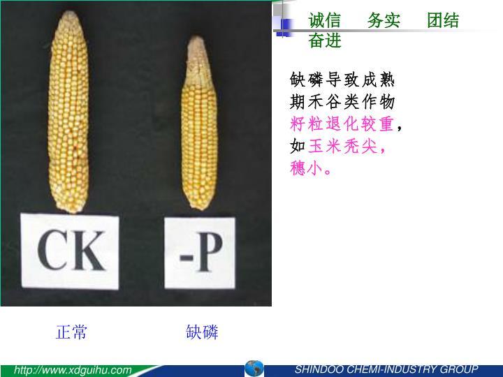 缺磷导致成熟期禾谷类作物