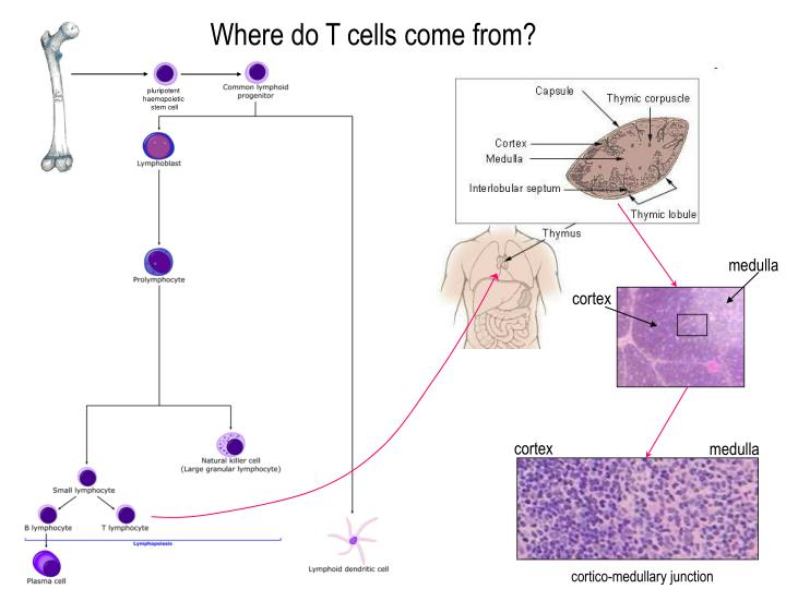Where do T cells come from?