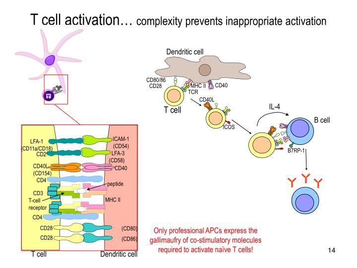 T cell activation…