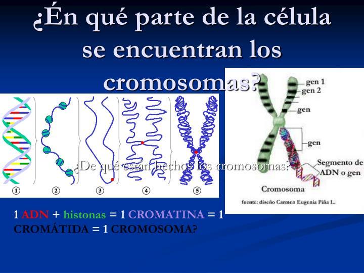 ¿Én qué parte de la célula se encuentran los cromosomas?