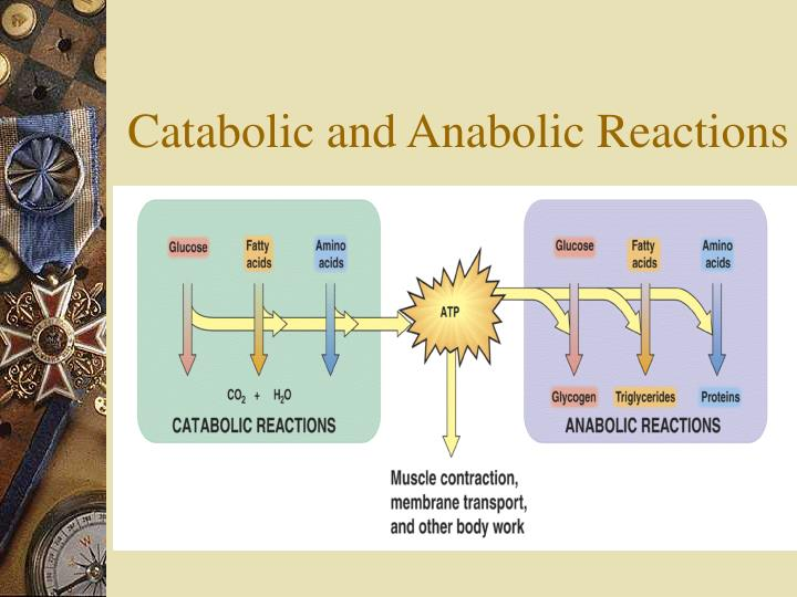 Catabolic and anabolic reactions