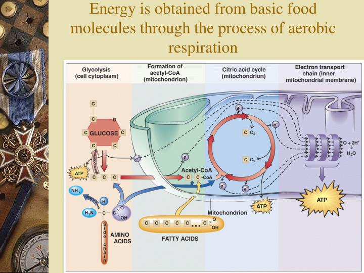 Energy is obtained from basic food molecules through the process of aerobic respiration