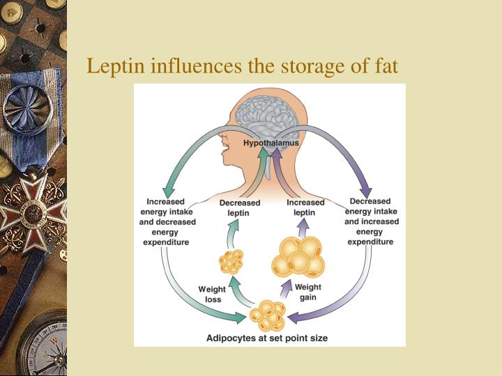 Leptin influences the storage of fat
