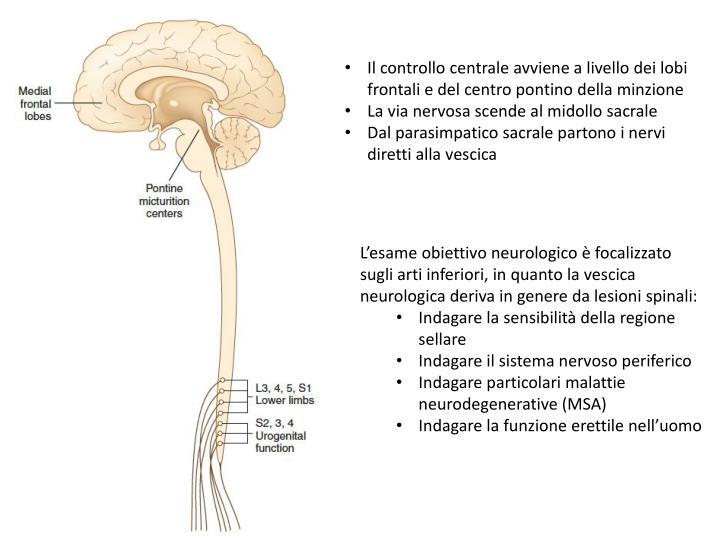 Il controllo centrale avviene a livello dei lobi frontali e del centro pontino della minzione
