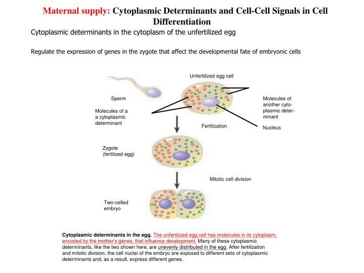 Cytoplasmic determinants in the egg.