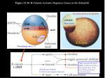 figure 11 10 b catenin activates organizer genes in the zebrafish