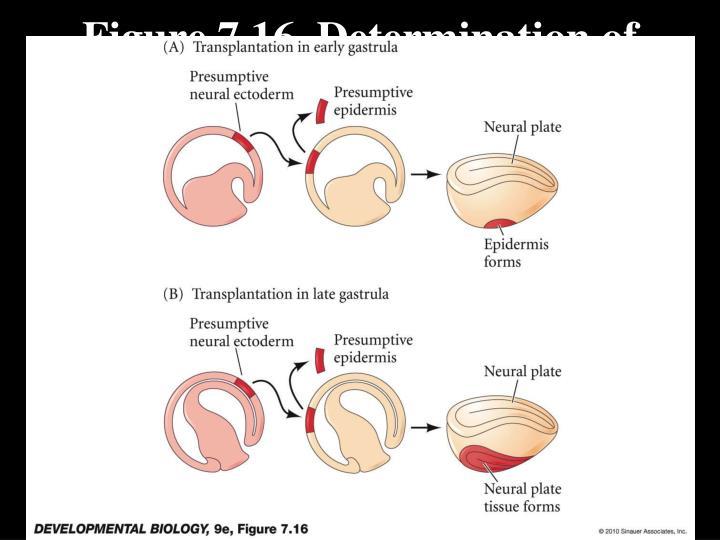 Figure 7.16  Determination of ectoderm during newt gastrulation