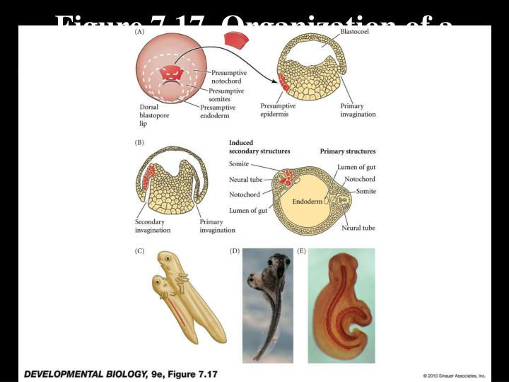 Figure 7.17  Organization of a secondary axis by dorsal blastopore lip tissue