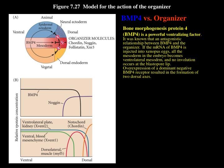 Figure 7.27  Model for the action of the organizer