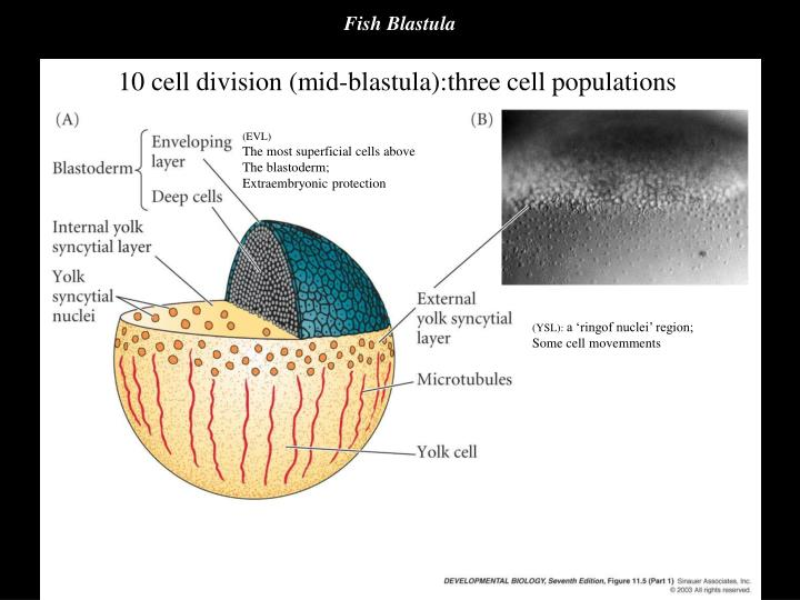 Fish Blastula