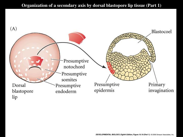 Organization of a secondary axis by dorsal blastopore lip tissue (Part 1)