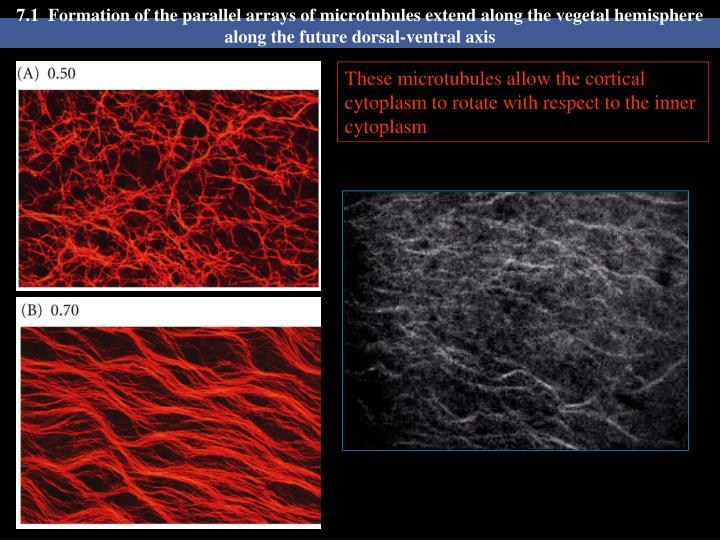7.1  Formation of the parallel arrays of microtubules extend along the vegetal hemisphere along the ...
